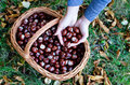 Full basket of chestnuts Royalty Free Stock Photo