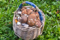 Full basket of mushrooms. The result of the successful collectio Royalty Free Stock Photo