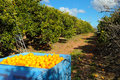 Full bin of picked oranges Stock Images