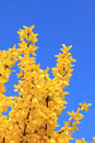 Full bloom forsythia bush at springtime against blue sky Stock Images