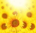 Full bloom sunflowers backlit by sun in a garden Royalty Free Stock Photos