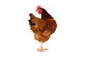 full body of brown chicken ,hen standing isolated white background use for farm animals and livestock theme Royalty Free Stock Photo