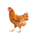 full body of brown chicken hen standing isolated white background use for farm animals and livestock theme Royalty Free Stock Photo
