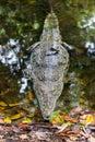 Full body crocodile in water Stock Photography