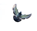 Full body of homing pigeon bird hovering isolated white backgrou Royalty Free Stock Photo