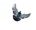 Full Body Of Homing Pigeon Bir...
