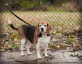 Full body of plump senior beagle dog on a leash looking towards overweight camera against chain link fence Royalty Free Stock Photo