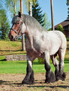 Full body shot of a Belgian draught horse. Royalty Free Stock Photo
