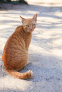 Full body of siamese thai domestic cat eye contact with blur bac Royalty Free Stock Photo