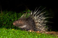 Full body side view of Nocturnal animals Royalty Free Stock Photo