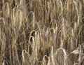 Full frame barley detail of a field ready to harvest at evening time Stock Photo