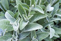 Full frame close-up Stachys byzantina lamb's ears or woolly hedgenettle ornamental plant grow in herbal garden Royalty Free Stock Photo