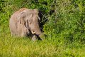 Full frame of wild elephant asian elephant moving in the in nature at khaoyai national park thailand Stock Image