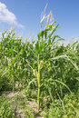 Full grown maize plants