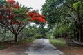 Full grown red colored tree on a road to hill station,Salem, Yercaud, tamilnadu, India, April 29 2017 Royalty Free Stock Photo