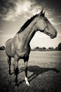 A full horse profile in black and white beautiful portrait of standing Royalty Free Stock Photography