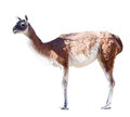 Full length shot of Guanaco Royalty Free Stock Photos