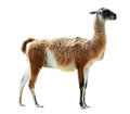 Full length shot of guanaco isolated over white background Stock Photo