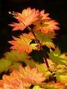 Full Moon Maple Leaves Royalty Free Stock Photo