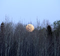 Full moon rising over the tree tops Royalty Free Stock Image