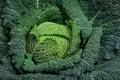 Full Organic Curly Green Cabba...