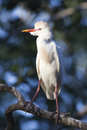 Full plumage a cattle egret in breeding Royalty Free Stock Images