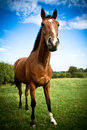 Full portrait of a horse with blue skies and clouds beautiful in summer Royalty Free Stock Photos