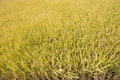 Full ripen golden rice paddy in autumn view of Stock Photos