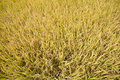 Full ripen golden rice paddy in autumn view of Royalty Free Stock Images