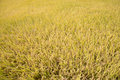Full ripen golden rice paddy in autumn view of Royalty Free Stock Photo