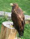 Full Royal Golden Eagle Stock Photography