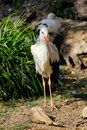 Full view of white stork is a large wading bird in the stork family Ciconiidae Royalty Free Stock Photo