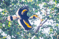 Full wings expand of great hornbill buceros bicornis in nature at khaoyai national park thailand Stock Image