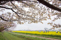 Fully-bloomed cherry blossoms and fields of yellow flowering nanohana behind,Gongendo Park in Satte,Saitama,Japan Royalty Free Stock Photo