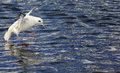 Fulmarus glacialis northern fulmar part of the petrel family shot in husavik harbour iceland Stock Photography