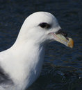 Fulmarus glacialis northern fulmar portrait part of the petrel family shot in husavik harbour iceland Stock Photography