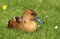 Fulvous Whistling Duck lying on grass Stock Photos