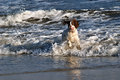 Fun in the water a spaniel dog splashing waves summer Stock Photo