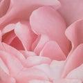 Fundo cor de rosa rose stock photos Imagens de Stock Royalty Free