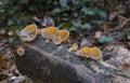 Fungi peziza vesiculosa mushroom wild forest mycology Royalty Free Stock Photo