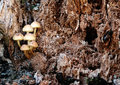 Fungi in a rotting tree group of small growing the stump of Royalty Free Stock Photo
