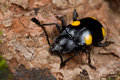 Fungus beetle Royalty Free Stock Photo