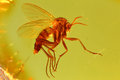 Fungus gnat Royalty Free Stock Photo