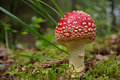 Fungus poisonous fly agaric which grows in the forest in summer Royalty Free Stock Photos