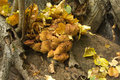 Funguses grows on wood closeup many orange fungus close up Stock Photography
