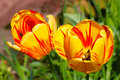 Funky tulips Royalty Free Stock Photo