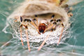 Funnel spider scary in its web in the jungle of madagascar Stock Photo