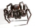 Funnel web spider a on white Royalty Free Stock Photo