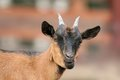 Funnt brown goat portrait funny looking towards the camera Royalty Free Stock Photo
