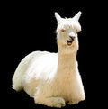 Funny alpaca bizarre isolated on black Royalty Free Stock Image